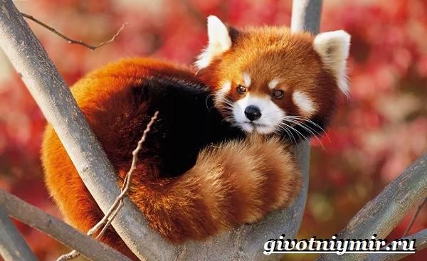 Малая-панда-Образ-жизни-и-среда-обитания-малой-панды-2