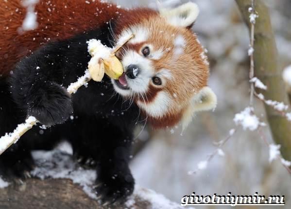 Малая-панда-Образ-жизни-и-среда-обитания-малой-панды-3