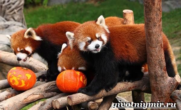 Малая-панда-Образ-жизни-и-среда-обитания-малой-панды-4