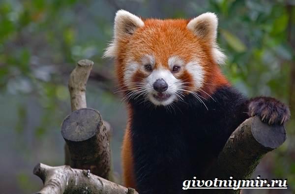 Малая-панда-Образ-жизни-и-среда-обитания-малой-панды-5