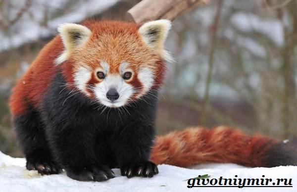 Малая-панда-Образ-жизни-и-среда-обитания-малой-панды-7