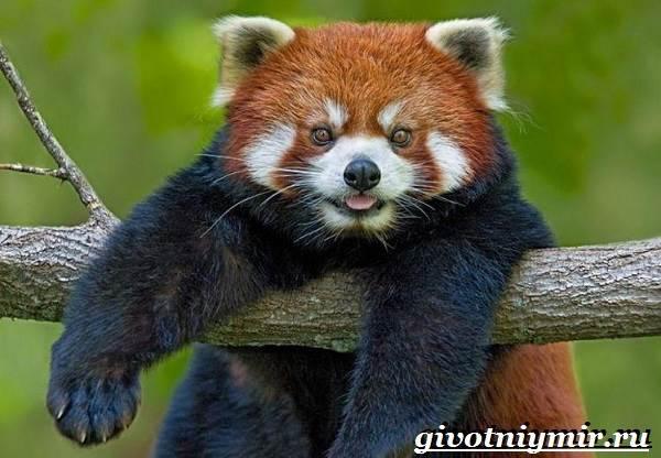 Малая-панда-Образ-жизни-и-среда-обитания-малой-панды-8