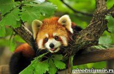 Малая панда. Образ жизни и среда обитания малой панды