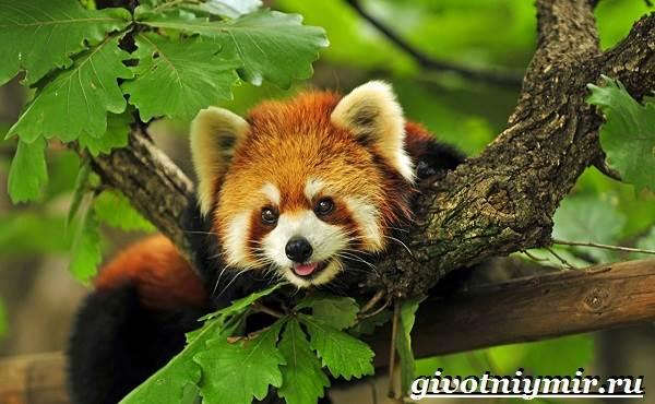 Малая-панда-Образ-жизни-и-среда-обитания-малой-панды-9