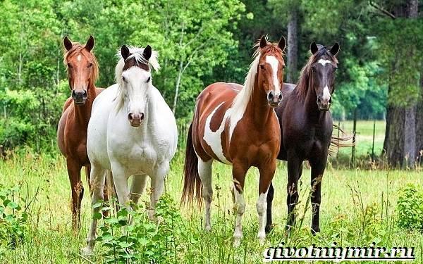 Масти-лошадей-Описание-фото-и-названия-мастей-лошадей-1