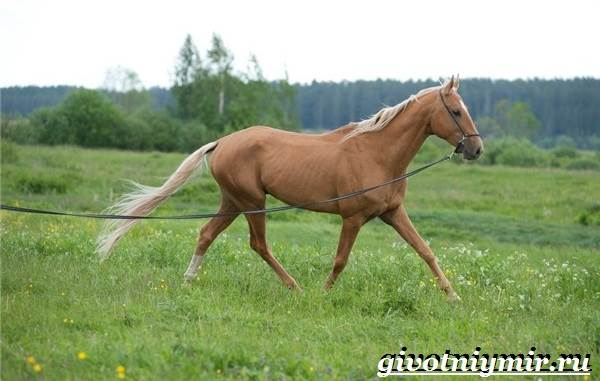 Масти-лошадей-Описание-фото-и-названия-мастей-лошадей-12