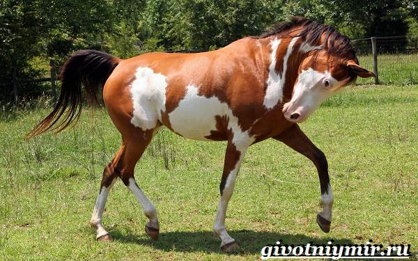 Масти-лошадей-Описание-фото-и-названия-мастей-лошадей-20