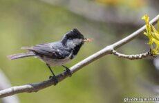 Московка птица. Образ жизни и среда обитания птицы московки