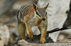 Намбат животное. Образ жизни и среда обитания намбата