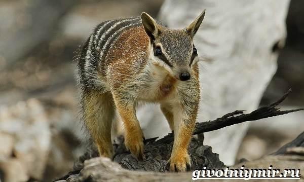 Намбат-животное-Образ-жизни-и-среда-обитания-намбата-1