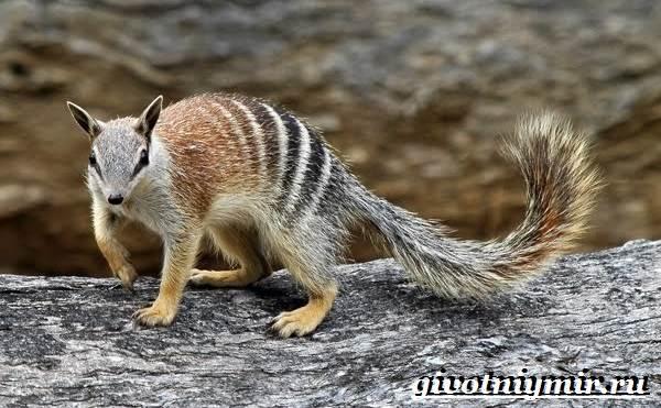 Намбат-животное-Образ-жизни-и-среда-обитания-намбата-2