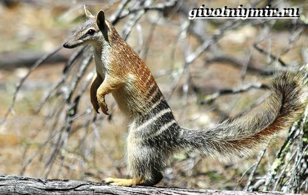 Намбат-животное-Образ-жизни-и-среда-обитания-намбата-3