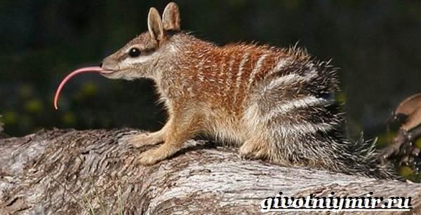 Намбат-животное-Образ-жизни-и-среда-обитания-намбата-4