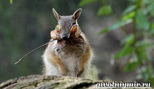 Намбат-животное-Образ-жизни-и-среда-обитания-намбата-5
