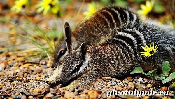 Намбат-животное-Образ-жизни-и-среда-обитания-намбата-6