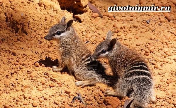 Намбат-животное-Образ-жизни-и-среда-обитания-намбата-8