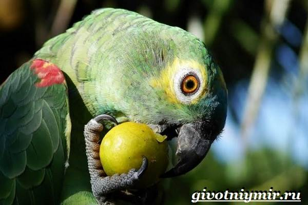 Попугай-амазон-Образ-жизни-и-среда-обитания-попугая-амазон-10