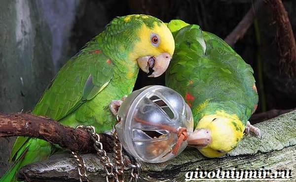 Попугай-амазон-Образ-жизни-и-среда-обитания-попугая-амазон-12