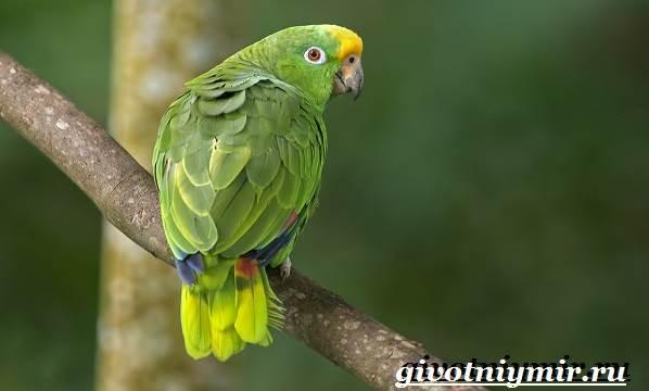 Попугай-амазон-Образ-жизни-и-среда-обитания-попугая-амазон-2