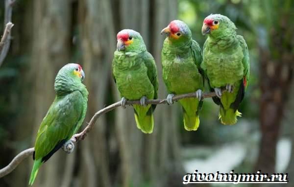 Попугай-амазон-Образ-жизни-и-среда-обитания-попугая-амазон-4