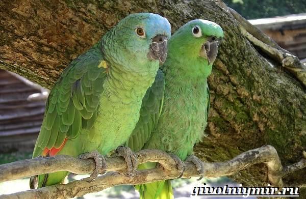 Попугай-амазон-Образ-жизни-и-среда-обитания-попугая-амазон-5
