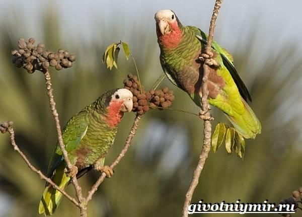 Попугай-амазон-Образ-жизни-и-среда-обитания-попугая-амазон-8
