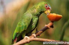 Попугай амазон. Образ жизни и среда обитания попугая амазон
