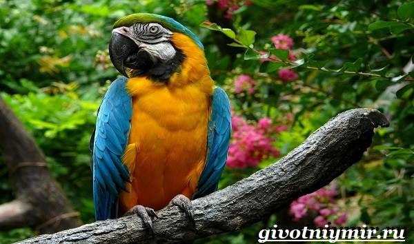 Попугай-ара-Образ-жизни-и-среда-обитания-попугая-ара-1