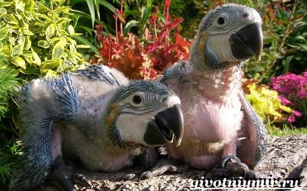 Попугай-ара-Образ-жизни-и-среда-обитания-попугая-ара-10