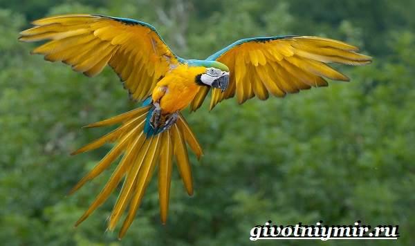 Попугай-ара-Образ-жизни-и-среда-обитания-попугая-ара-2