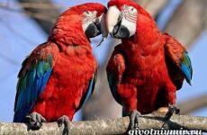 Попугай ара. Образ жизни и среда обитания попугая ара