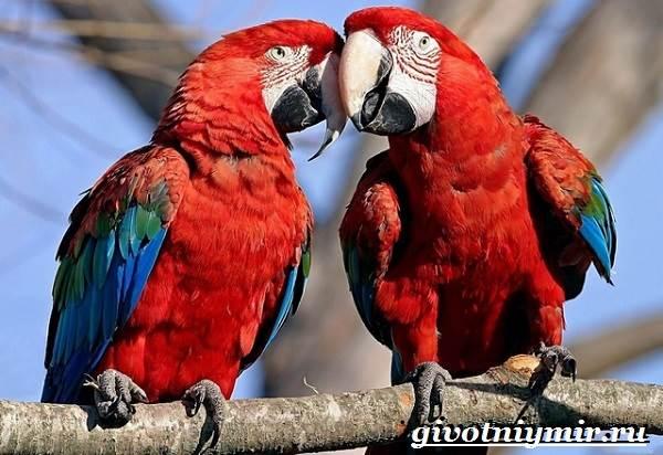 Попугай-ара-Образ-жизни-и-среда-обитания-попугая-ара-4