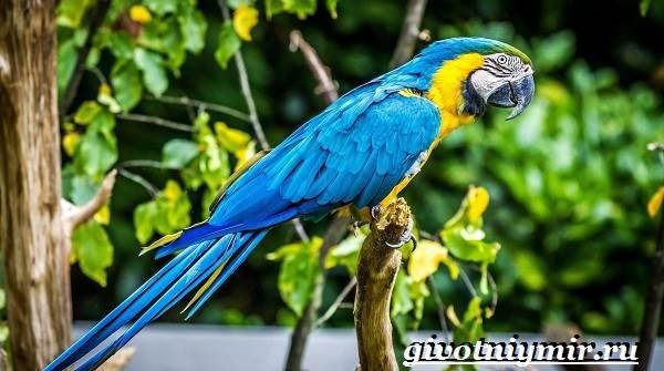 Попугай-ара-Образ-жизни-и-среда-обитания-попугая-ара-5