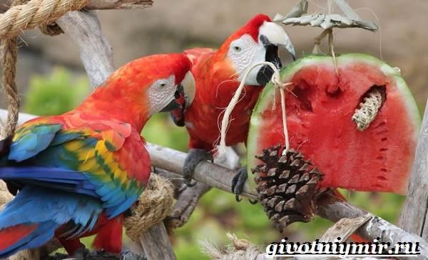 Попугай-ара-Образ-жизни-и-среда-обитания-попугая-ара-6