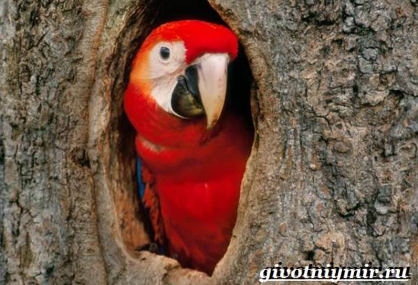 Попугай-ара-Образ-жизни-и-среда-обитания-попугая-ара-7