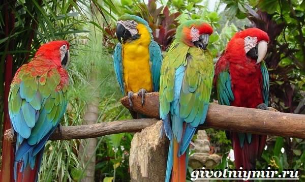 Попугай-ара-Образ-жизни-и-среда-обитания-попугая-ара-9