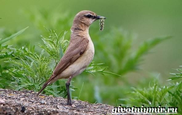 Птица-каменка-Образ-жизни-и-среда-обитания-птицы-каменки-10