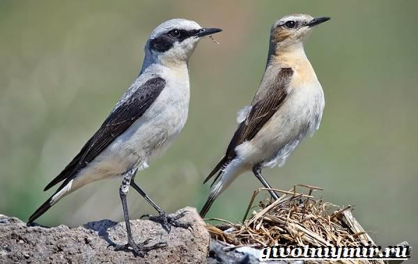Птица-каменка-Образ-жизни-и-среда-обитания-птицы-каменки-2