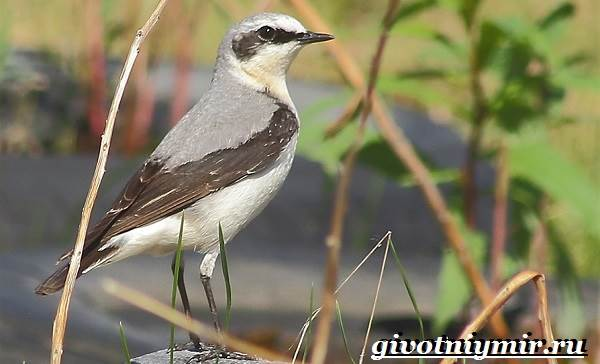 Птица-каменка-Образ-жизни-и-среда-обитания-птицы-каменки-3