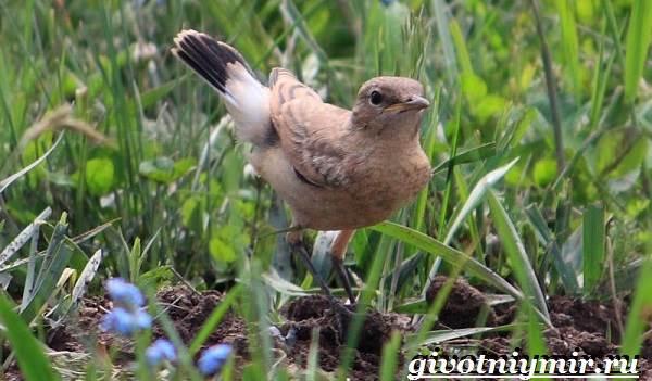 Птица-каменка-Образ-жизни-и-среда-обитания-птицы-каменки-4