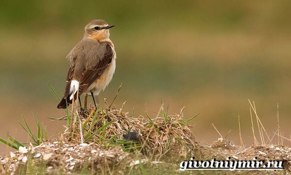 Птица-каменка-Образ-жизни-и-среда-обитания-птицы-каменки-5
