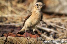 Птица каменка. Образ жизни и среда обитания птицы каменки
