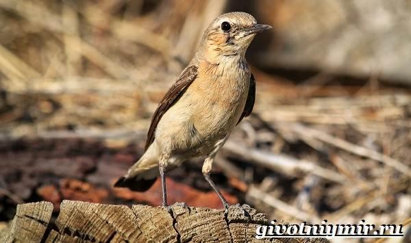 Птица-каменка-Образ-жизни-и-среда-обитания-птицы-каменки-6