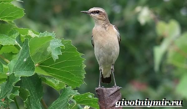 Птица-каменка-Образ-жизни-и-среда-обитания-птицы-каменки-7
