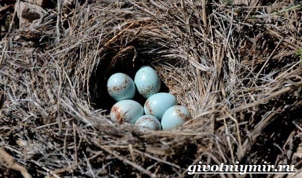Птица-каменка-Образ-жизни-и-среда-обитания-птицы-каменки-8