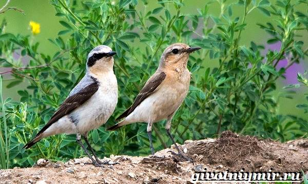 Птица-каменка-Образ-жизни-и-среда-обитания-птицы-каменки-9