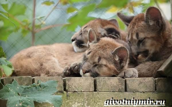 Пума-животное-Образ-жизни-и-среда-обитания-пумы-10
