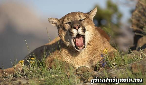 Пума-животное-Образ-жизни-и-среда-обитания-пумы-7