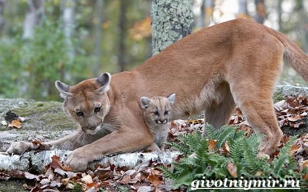 Пума-животное-Образ-жизни-и-среда-обитания-пумы-9