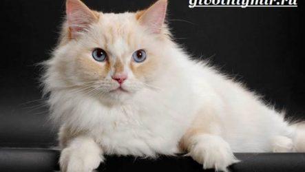 Рагамаффин кошка. Описание, особенности, уход и цена породы рагамаффин